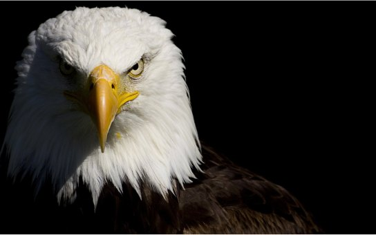 aguia-lider