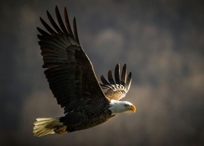 O renascimento da águia